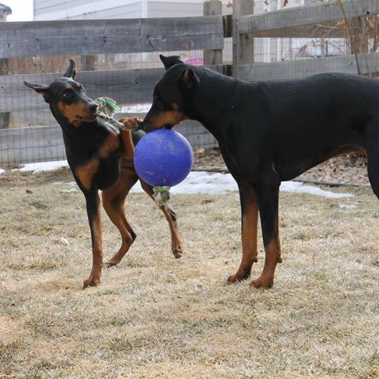 Jolly Pets Palla Romp-n-Roll Giocattolo per Cani 10 cm Blu - 3