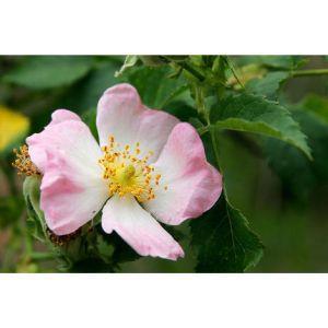 1 Pianta Di Rosa Canina Frutto Ricco Di Vitamina C - 2