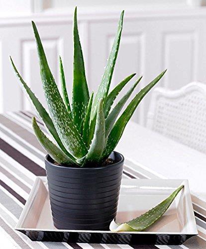 1 PIANTA di Aloe Vera in Vaso 15CM