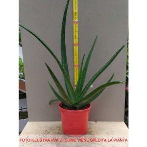1 PIANTA di Aloe Vera in Vaso 15CM - 2