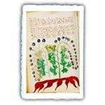 MiniArtPrint. Stampe fine art. Manoscritto Voynich. soggetto 172