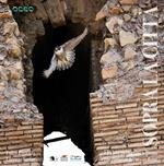 Sopra la città. I falchi pellegrini a Roma-The peregrine falcons in Rome. Ediz. bilingue